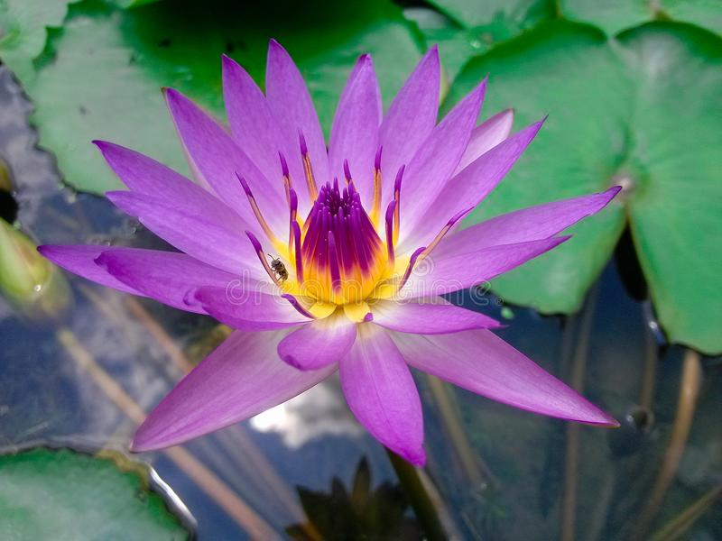 Lotus. Local close-up, a bug crawling on the stamen. Taken in honghu park, shenzhen royalty free stock image