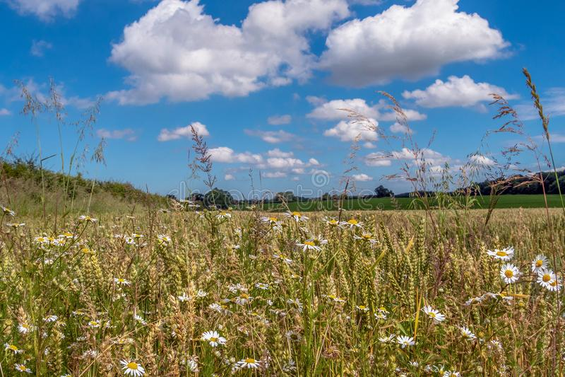 Wild Flowers in the Harvest. Local farmers actively support wild flowers growing on the edge of their crops. Taken near the hamlet of Gunthorpe North Norfolk royalty free stock image