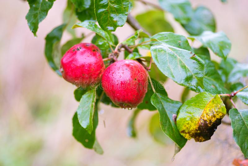 Finnish domestic apples with scab stains. Local Finnish domestic apples in a tree- rainy day, with scab disease symptoms royalty free stock photography