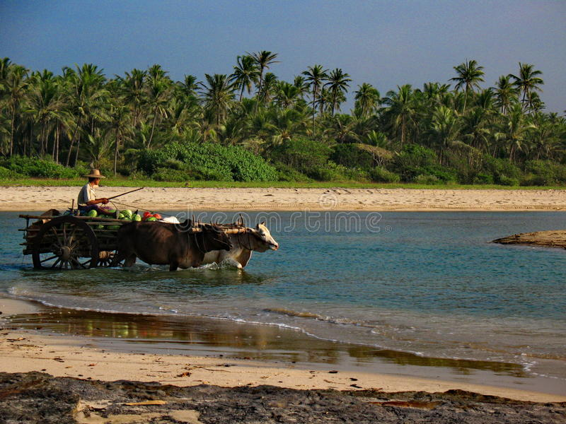 Local man riding an ox cart by the beach, Myanmar royalty free stock photo