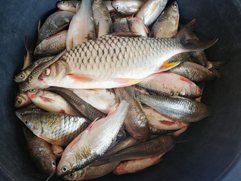 Local Mekong River dos peixes fotografia de stock royalty free