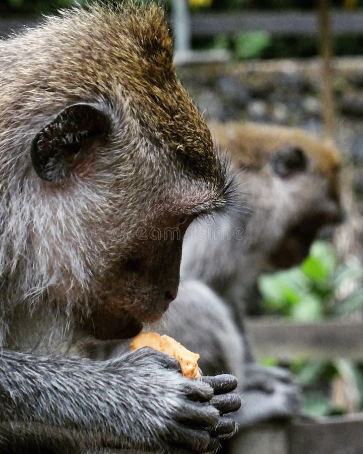 Fruit eating Monkey stock photo