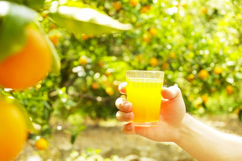 Local produce orange tree farm garden sunlight. Harvesting fruit hand picking, masculine male farmer handing glass of orange juice stock images
