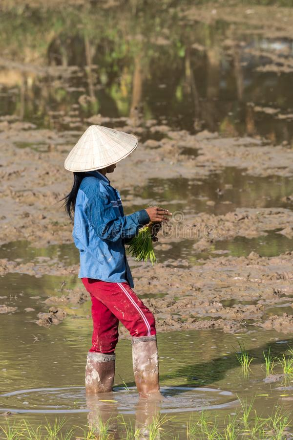 Local villagers working in a rice field in the Champasak valley, Laos royalty free stock photography
