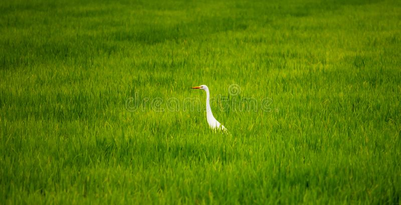 Local white bird, Great Egret walking around in organic rice field and watching for food, little insects and shell. Local white bird, Great Egret walking around royalty free stock photo
