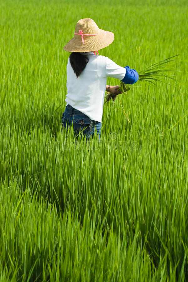 Download Local Woman Working In Rice Paddy Stock Photo - Image: 12320724