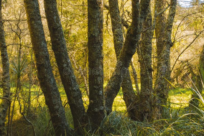 Local woodland late afternoon sun. Spring is starting to show through with the longer days and fresh growth royalty free stock image