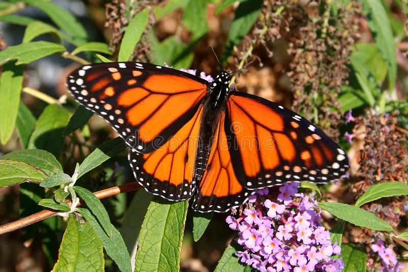 Localización roja de la mariposa de monarca en un arbusto de mariposa fotografía de archivo libre de regalías
