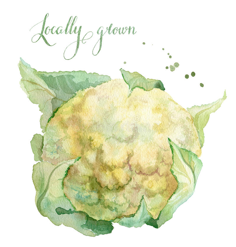 Locally grown cauliflower. Watercolor Illustration of cauliflower, hand painted. Locally grown watercolor lettering stock illustration