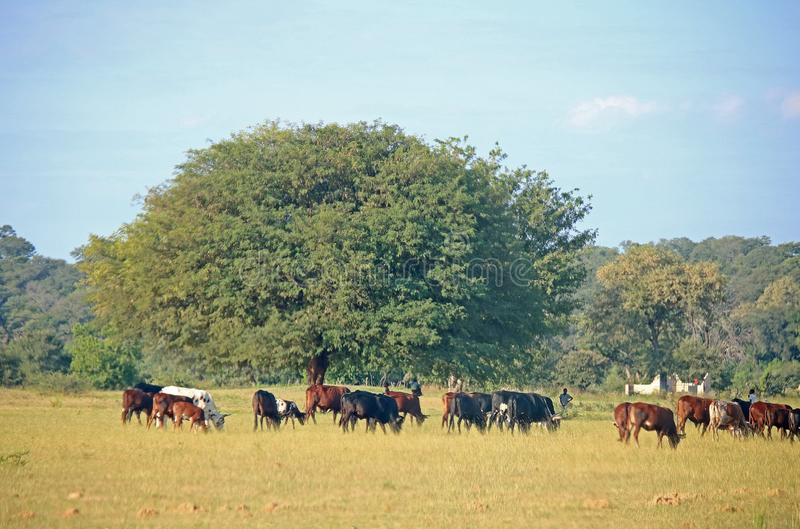 LOCALS HERDING CATTLE DURING THE DAY royalty free stock images