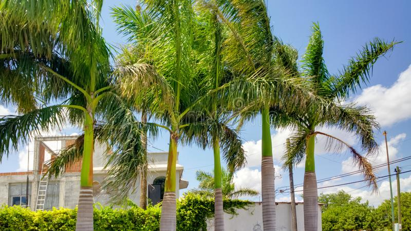 Palm Trees at Reynosa, Mexico. Royal palm trees located at Reynosa, Mexico on the border.n stock image