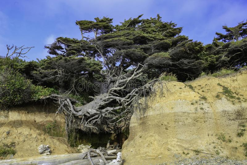 The Tree Of Life. Located on the shores of Kalaloch Beach in Olympic National Park, this tree appears to be hanging in the air royalty free stock image