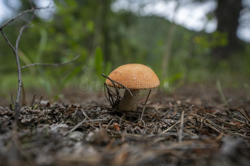 Hebeloma crustuliniforme Bokeh. Location: Colorado royalty free stock image