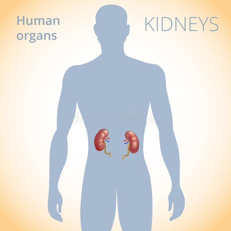 The Location Of The Kidneys In The Body The Human Excretory System