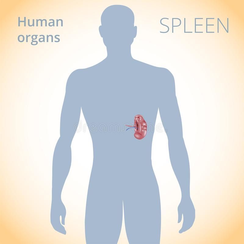 The Location Of The Spleen In The Body, The Human Digestive System ...
