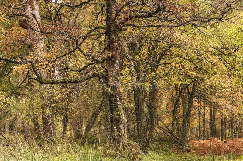 Loch Rannoch Forest. Ancient Caledonian forest on the shores of Loch Rannoch, Perth and Kinross, Scotland. 18 October 2018 stock photos