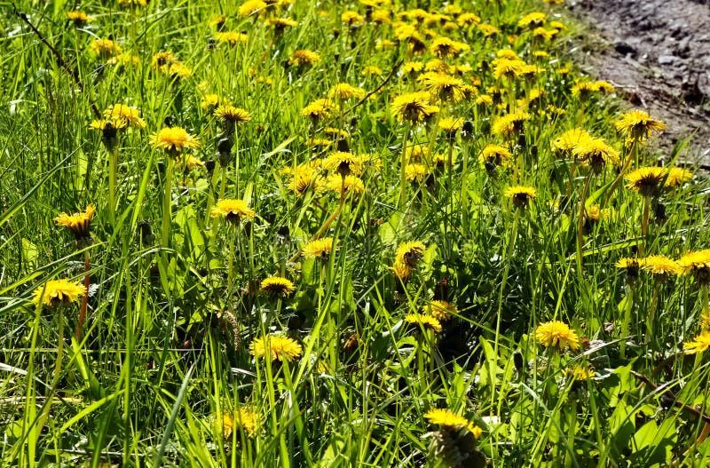 Locha oset kwitnie w trawie obrazy royalty free