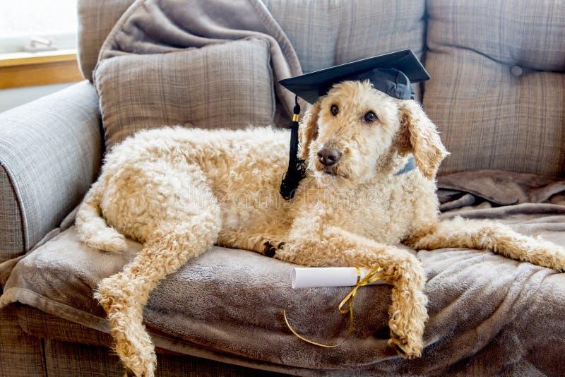 Lock för avläggande av examen för pudelhund bärande med diplomet på en grå soffa royaltyfria bilder