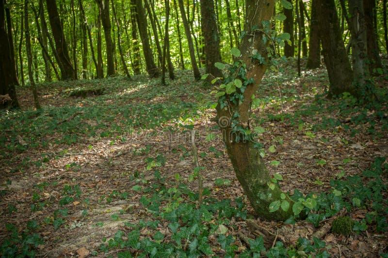lock med murgrönan i skogen royaltyfri fotografi