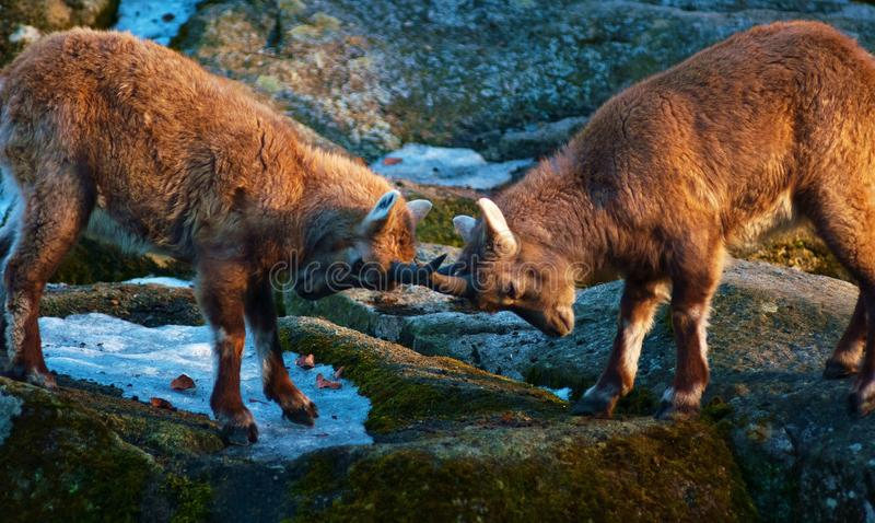 Download Locked horns stock photo. Image of outdoors, animal, mammal - 13526718