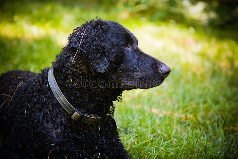 Lockig-Überzogener aufmerksamapportierhund stockfotos