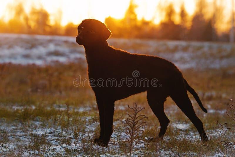 Lockig bestruken apportörhund utomhus royaltyfria foton