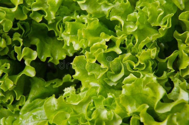 lockig grön sallad royaltyfri foto