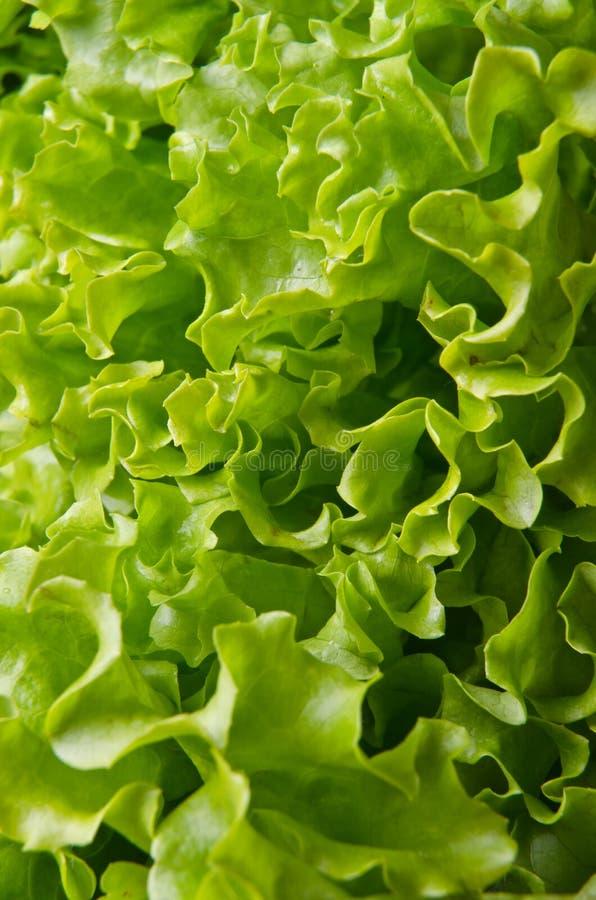 lockig grön sallad royaltyfri bild