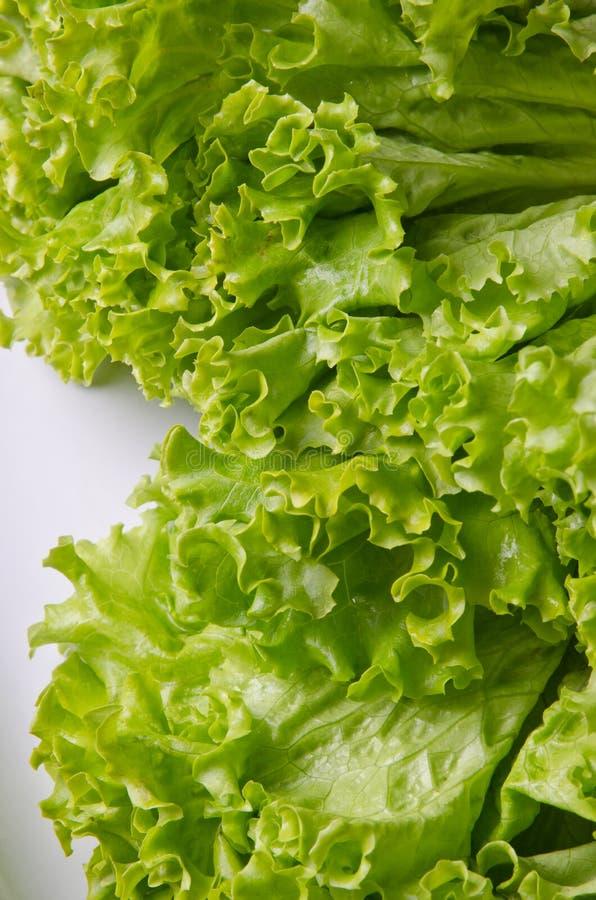 lockig grön sallad royaltyfria bilder