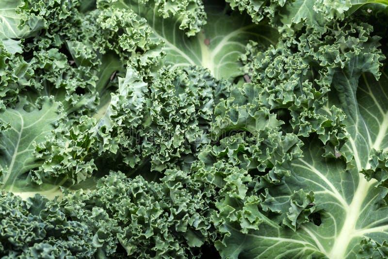 Lockig grönkål royaltyfri bild