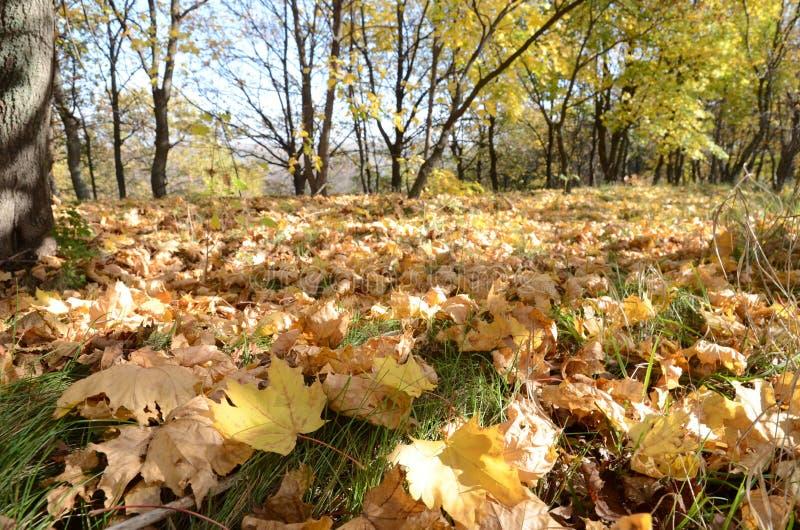 Lockiga gula lönnlöv på gräs i höstskogen, abstrakt bakgrund arkivfoton