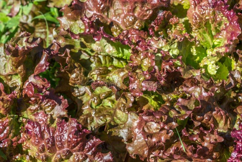 Lockiga röda grönsallatblad royaltyfria bilder