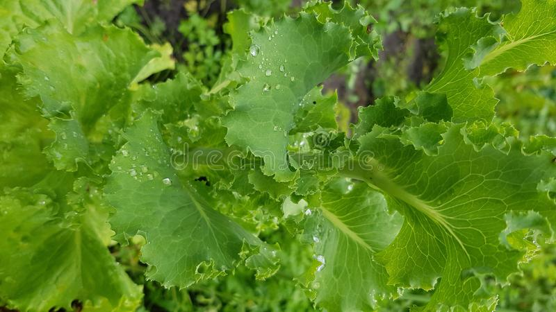 Lockiga sidor av closeupen för grön sallad på kökträdgård arkivbild