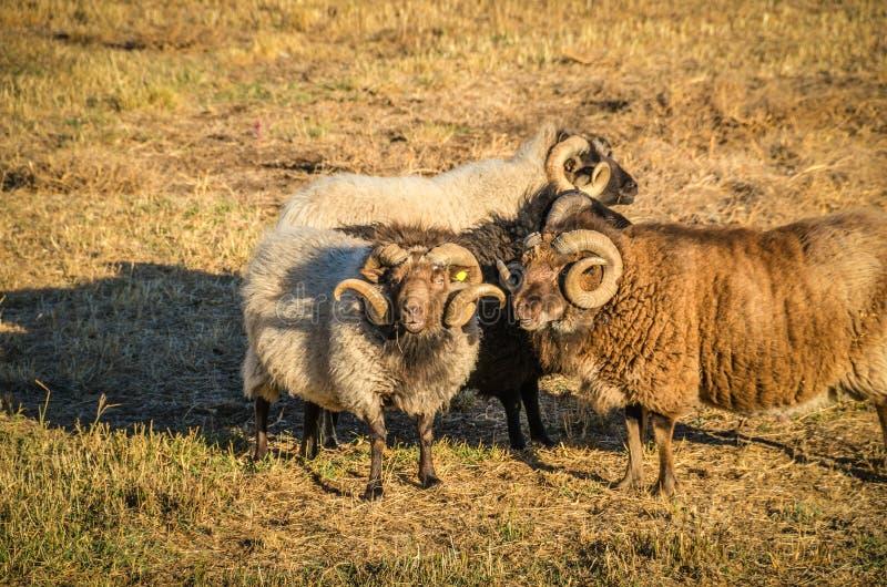 Lockige gehörnte Schafe stockfoto