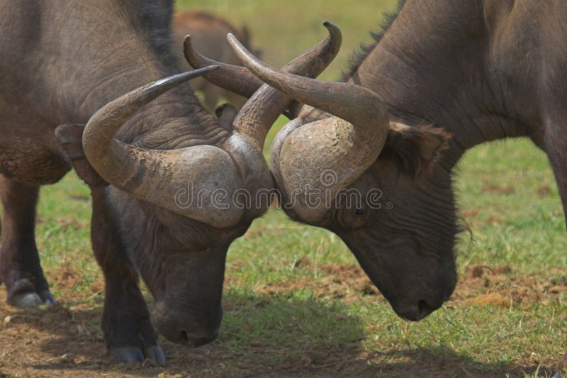 Download Locking Horns stock image. Image of five, dominance, africa - 709213