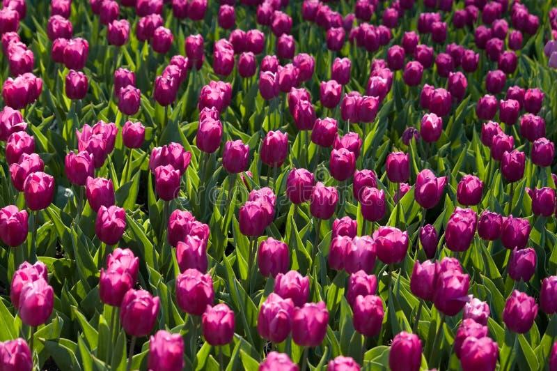 Locura del tulipán fotografía de archivo