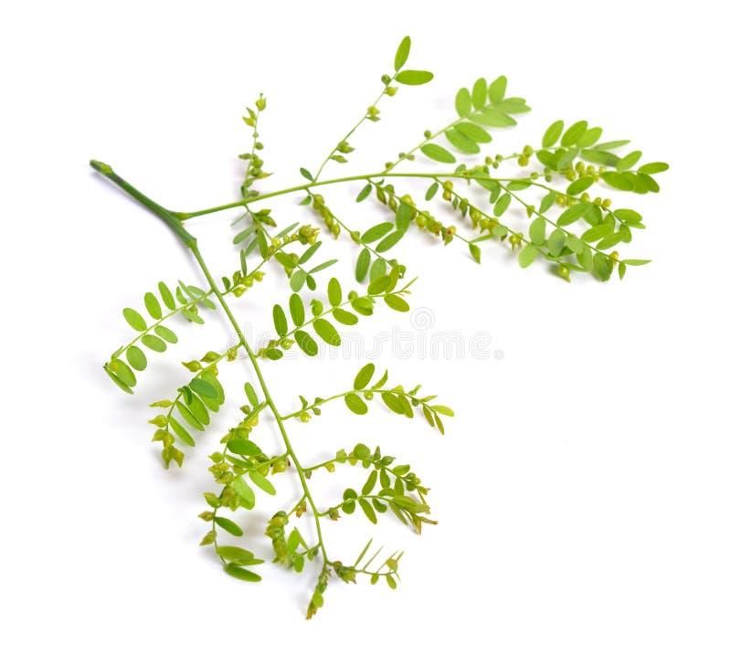 Locustídeo de Gleditsiaor da planta isolados no fundo branco imagens de stock royalty free