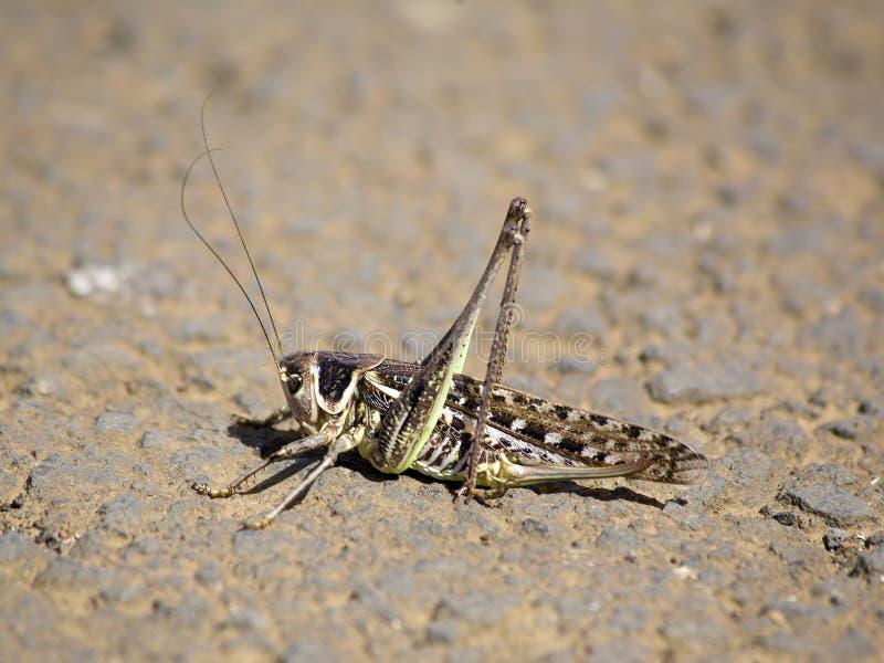 Locustídeo do deserto fotografia de stock