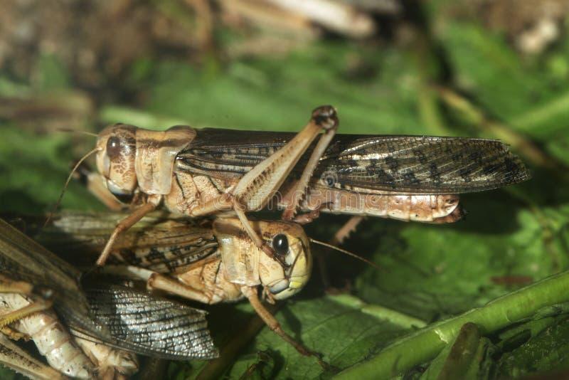 Locustídeo do deserto (Schistocerca Gregaria) imagem de stock