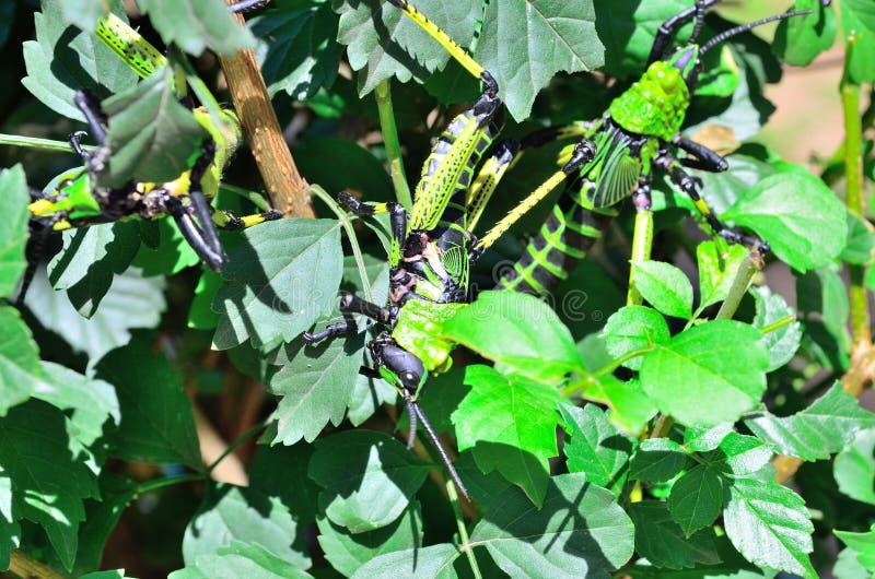 Locustídeo do Milkweed em uma planta fotografia de stock royalty free