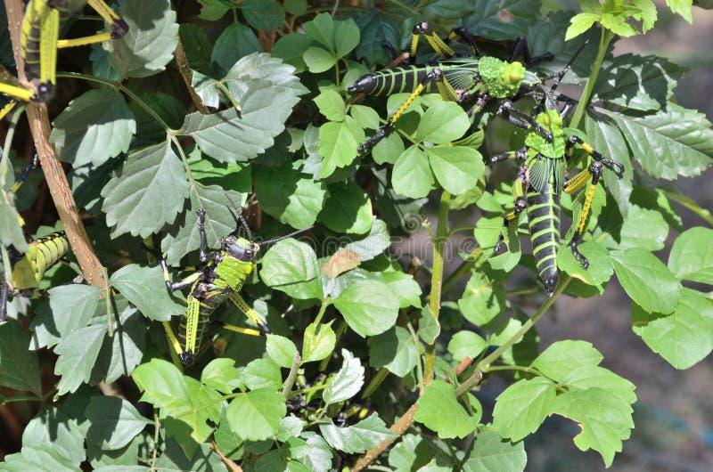 Locustídeo do Milkweed em uma planta imagem de stock royalty free