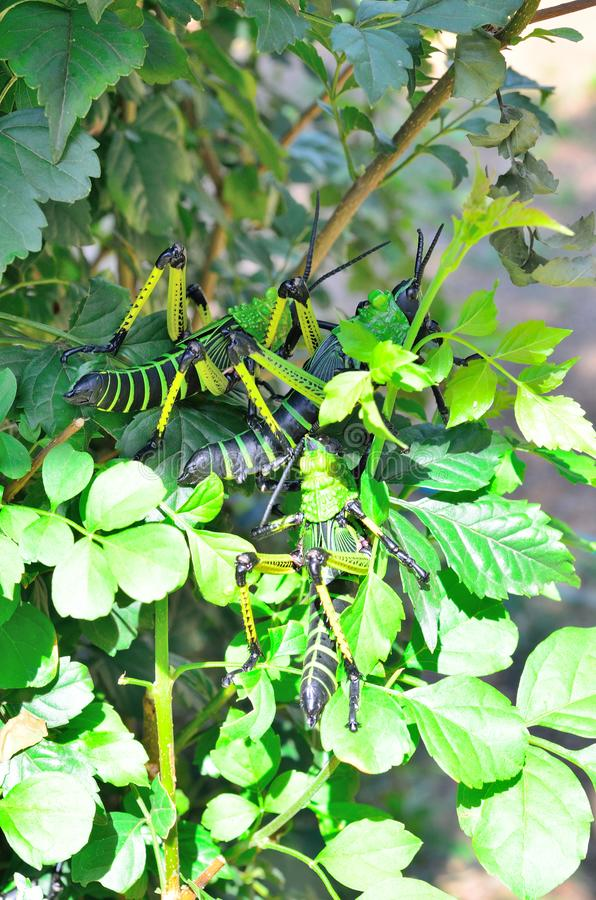 Locustídeo do Milkweed em uma planta fotografia de stock