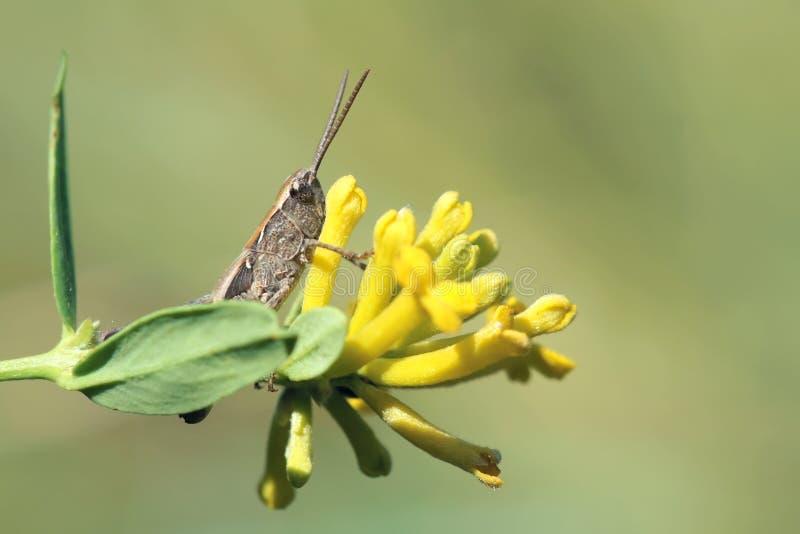 Locustídeo e flor imagem de stock royalty free