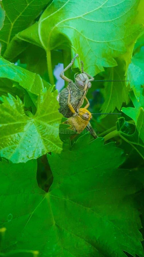 Locustídeo masculinos e fêmeas nas folhas da videira Acoplando-se, amarele a opinião fêmea marrom verde masculina e maior do clos imagem de stock royalty free