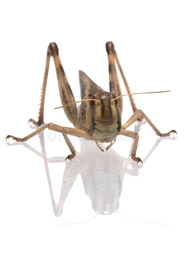 Locustídeo migratórios - (migratoria do Locusta) imagem de stock