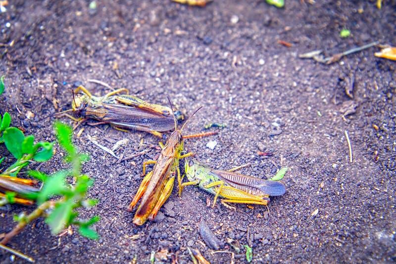 Locustídeo na terra Macro, close-up Invas?o dos locust?deo fotos de stock royalty free