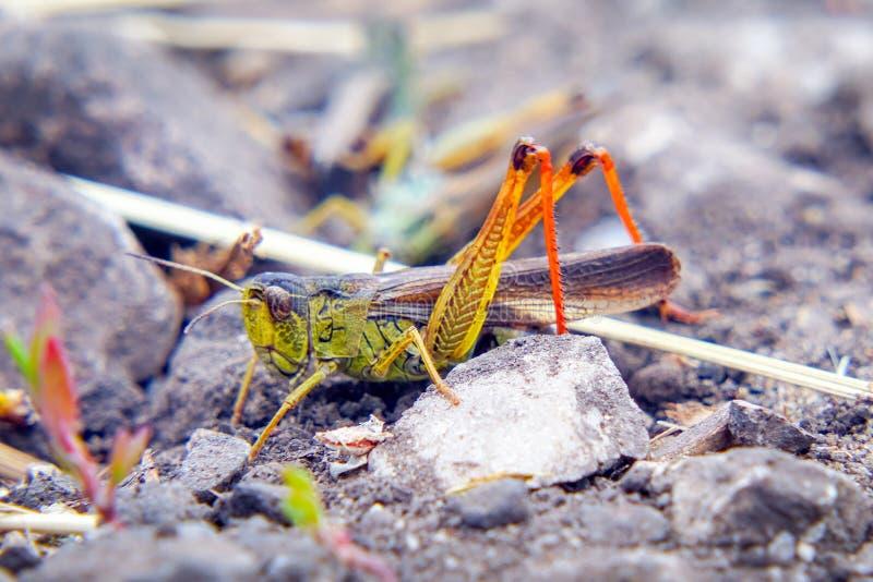 Locustídeo na terra Macro, close-up Invas?o dos locust?deo foto de stock royalty free