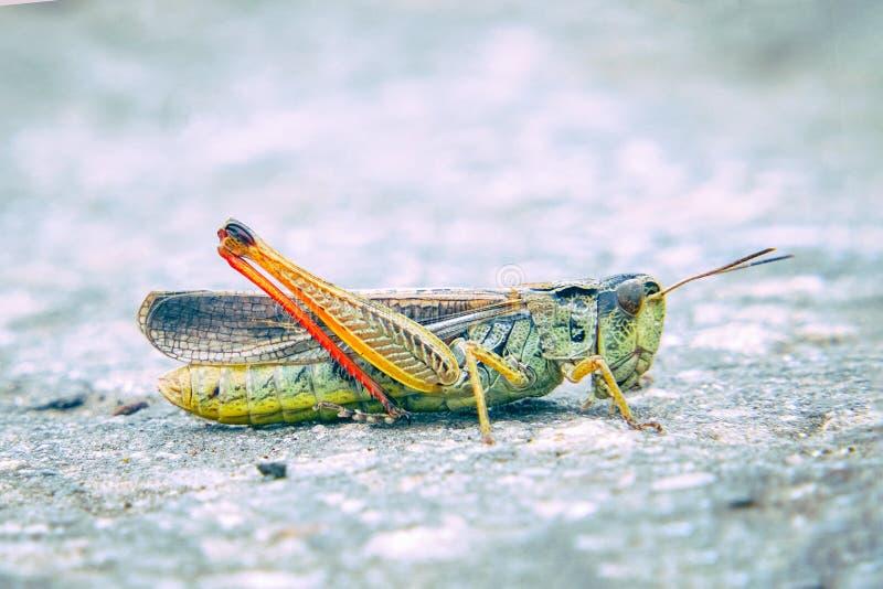 Locustídeo na terra Macro, close-up Invas?o dos locust?deo fotografia de stock royalty free