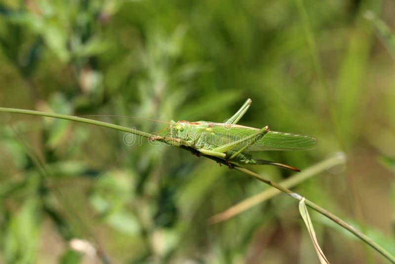 Locustídeo verdes que sentam-se na haste de uma planta imagens de stock royalty free