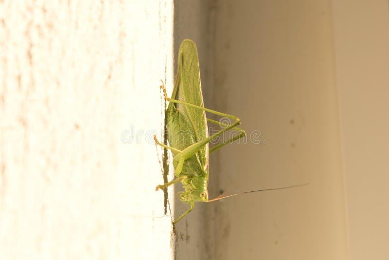 Locustídeo verdes que sentam-se na parede Fim acima imagem de stock royalty free